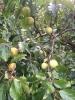 Frisches Obst vom  Baum