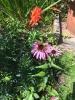 Schmetterlinge auf Sonnenhut in unserem Garten